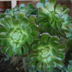 lajolla-landscape-plants