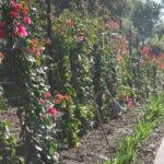 lajolla-landscape-san-diego-garden