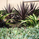 lajolla-landscape-san-diego-plants
